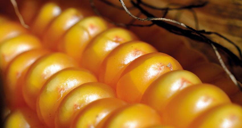 Especial maíz: preparando la campaña con los expertos