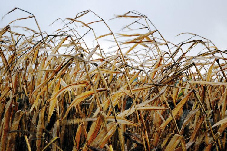 Maíz forrajero en Galicia: evaluación de variedades comerciales <br><small>CIAM | Actualización 2018</small>