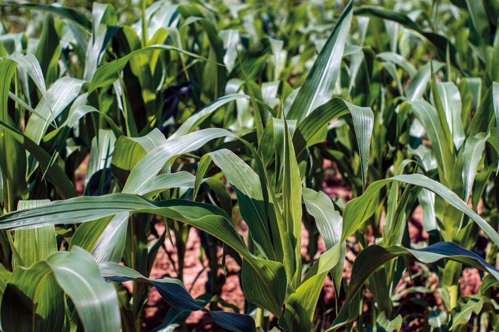 Maíz forrajero en Asturias: evaluación de variedades comerciales <br><small>SERIDA | Actualización 2017</small>