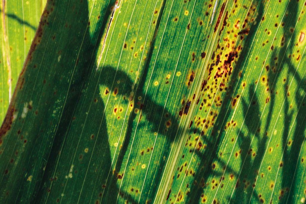Patologías del maíz: el conocimiento como estrategia