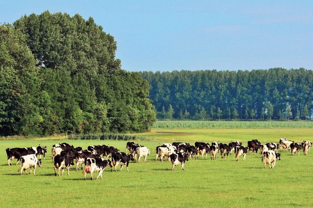 Las vacas fantasma holandesas