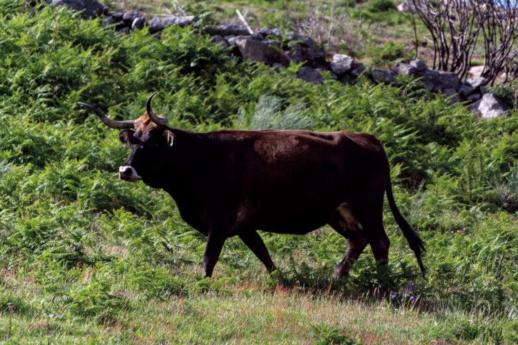 Pastos, vacas, lobos y hombres: abordando las problemáticas del medio rural