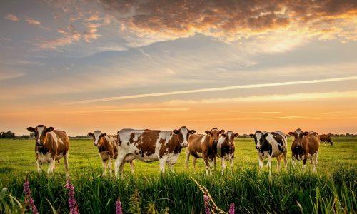 Vacas, vacunas y Galicia <br> <small>Autor Antón Camarero</small>