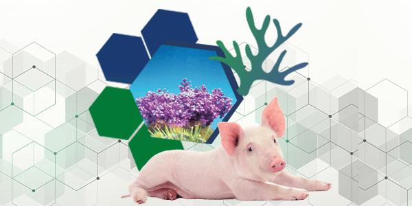 El pequeño árbol de roca – Clave para la salud porcina