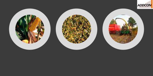 ¿Por qué usar aditivos de ensilaje en maíz?<br> <small>Efecto Kofasil</small>