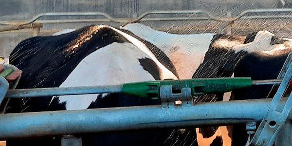 La alimentación de las vacas en verano