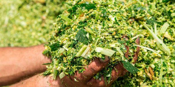 Los ensilados de maíz fermentan bien