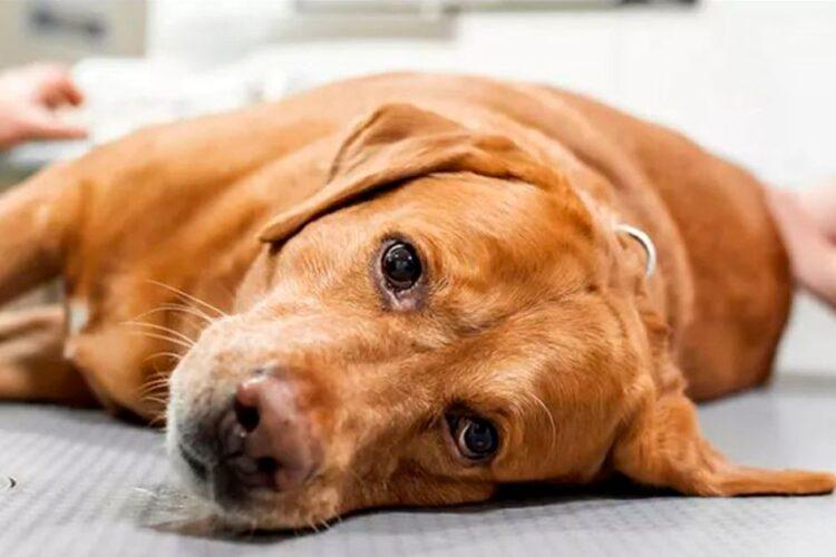 Mueren más de 70 perros tras ingerir pienso con una toxina del moho